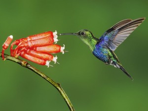 Green-Crowned-Woodnymph-Mindo-Ecuador
