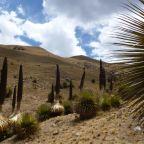 Peru – Huaraz, Puya raimondi