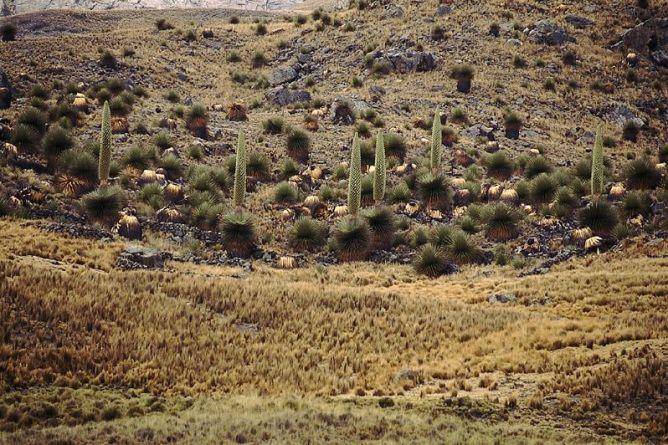 Puya raimondi Huancavelica