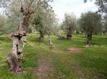 02 P1020370 soller vieille oliveraie