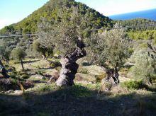 04 P1020439 estellencs oliviers millenaires