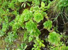 Aeonium gorgoneum (4)