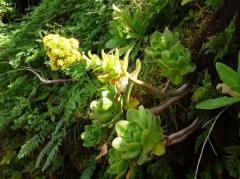 Aeonium gorgoneum (5)