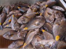 CaboVerde2013-X-45 Mindelo Marche poisson Queue jaune