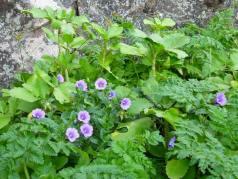 Campanula jacobea 1 (8)