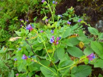 Echium stenosiphon (14)