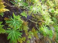 Euphorbia tuckyana 2 (16)