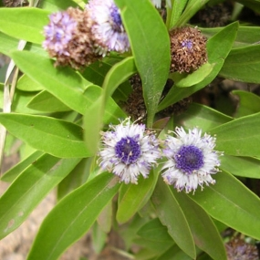 Globularia amygdalifolia (17)