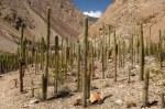 peru-cotahuasi canyon station de cactees
