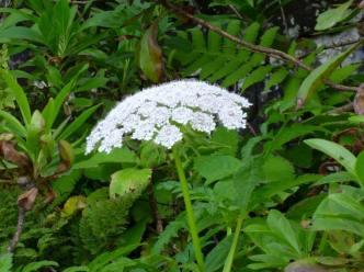 Tornabenea bischoffii (2)
