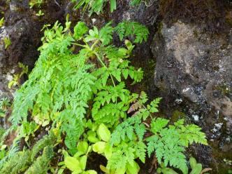 Tornabenea bischoffii (3)
