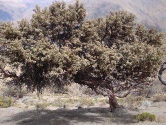 J3 45 black forest tree
