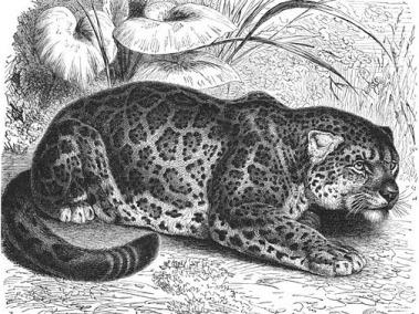 El Jaguar gravure 19eme