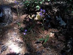 2014-07-12 Ruta dels Refugis (69) Tossal de la Baltasana orchis