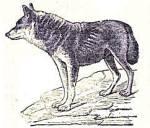 Chien loup dessin