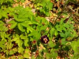 IMG_1041 Geranium phaeum
