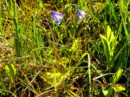 IMG_1094 grassette Pinguicula grandiflora