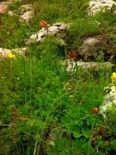IMG_1392 Fritillaria messanensis
