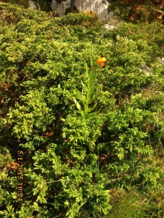 IMG_1428 Lilium chalcedonicum