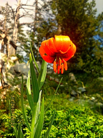 IMG_1432 Lilium chalcedonicum