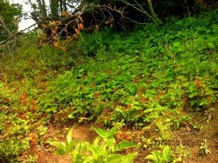 IMG_1511 champs fraises des bois