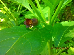 IMG_1535 Atropa belladonna