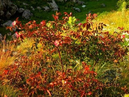 IMG_1576 Rose rouge