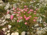 IMG_1601 Armeria alpina